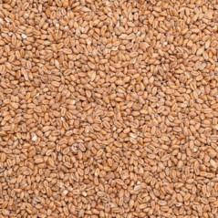 Graines de Blé (Froment Blanc) au kg - Beyers 002960/kg Beyers 1,10 € Ornibird