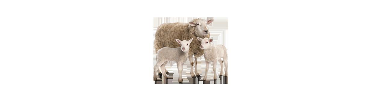Moutons & chèvres