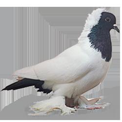 Pigeon d'ornement